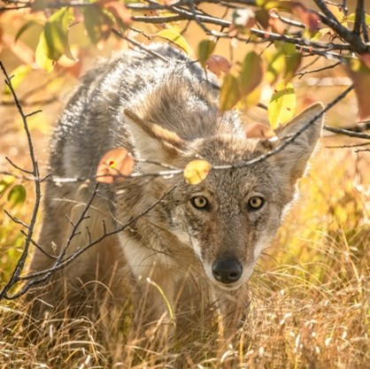 A coyote (in the same trickster category as jackal) looking at a photographer, from under a branch.  The scene is lit in golds and yellows.